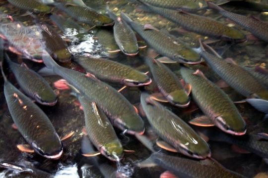 El pescado Dios Stream-2